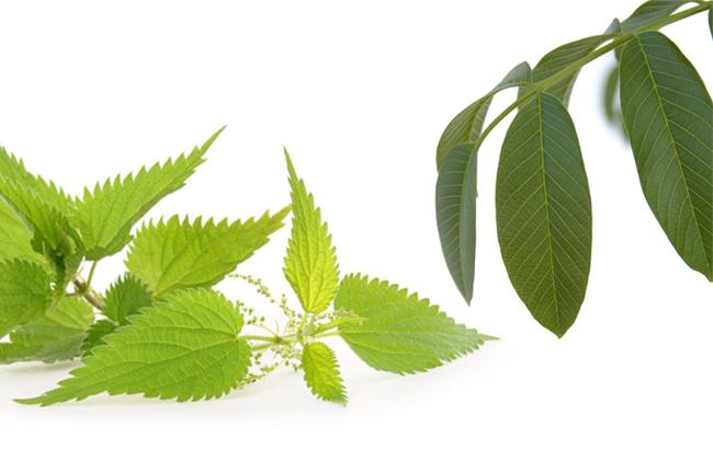 خاصیت ضددیابتی برگ گیاه گزنه و برگ گردو