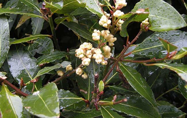 کشف ۳ ترکیب پنیسیلینی در گیاه گارسینیا نوبیلیس