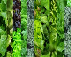 برگ سبز گیاهان ، سپردفاعی جدید کبدچرب غیرالکلی